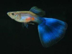 Blue Delta Guppy Fish