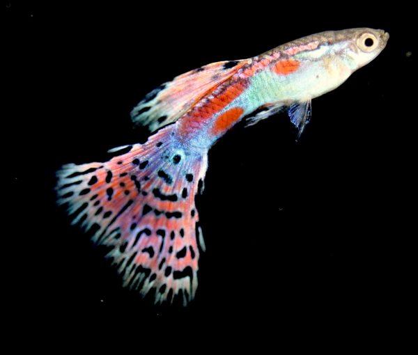 Red Grass Guppy Fish
